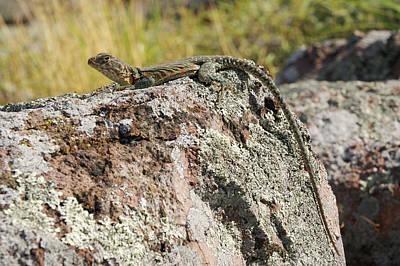 Photograph - Eastern Collared Lizard by Byron Jorjorian