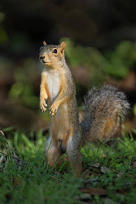 Fox Squirrel Photograph - Eastern Fox Squirrel (sciurus Niger by Larry Ditto