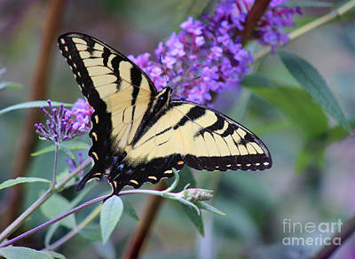 Photograph - Eastern Tiger Swallowtail Butterfly On Butterfly Bush by Karen Adams