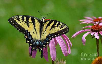 Photograph - Eastern Tiger Swallowtail by Rodney Campbell