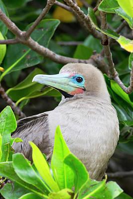 Boobies Photograph - Ecuador, Galapagos Islands, Genovesa by Ellen Goff