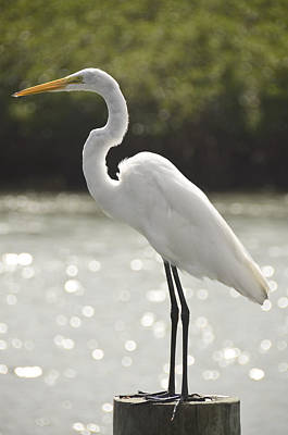 Photograph - Egret by Eric Miller