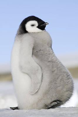 Emperor Penguin Chick Art Print