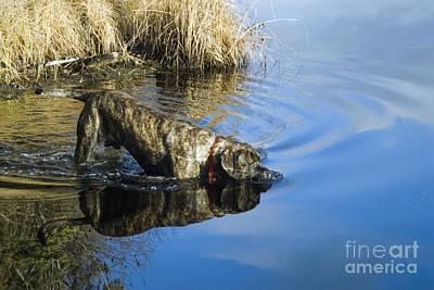 Brindle Photograph - English Mastiff by Mark Newman