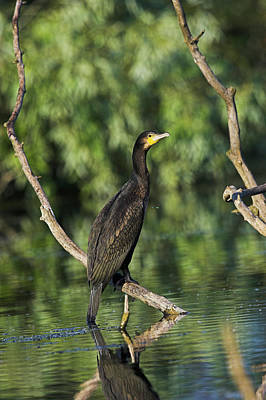 Eurasian Cormorant (phalacrocorax Carbo Art Print by Martin Zwick