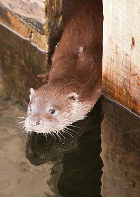 Peer Photograph - European Otter by Ashley Cooper