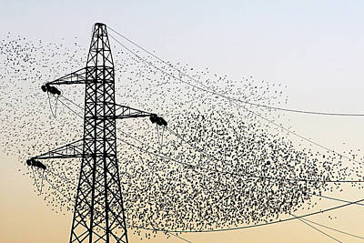 Starlings Wall Art - Photograph - European Starling Flock by Manuel Presti/science Photo Library