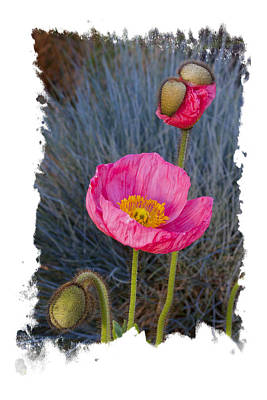 Photograph - 3 Faces Of Poppy by Judy Deist