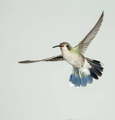 Broad Tail Photograph - Female Broadbill Hummingbird by Gregory Scott