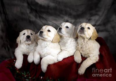 Red Roses - Festive Puppies by Angel Ciesniarska