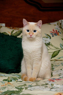 Flame Point Siamese Cat Art Print