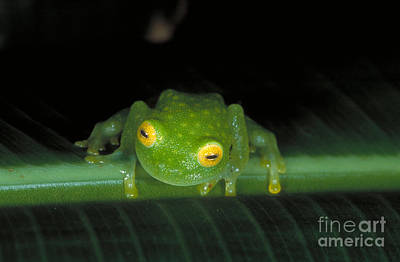Frogs Photograph - Fleischmanns Glass Frog by Gregory G. Dimijian