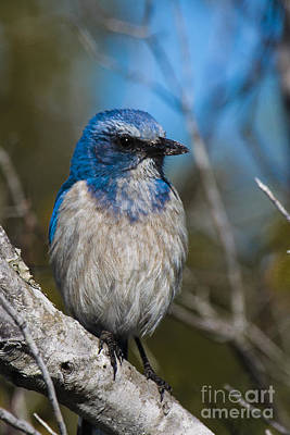 Photograph - Florida Scrub Jay by Ronald Lutz