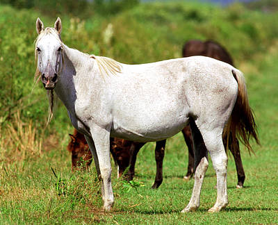 Florida Cracker Photograph - Florida Spanish Horse by Millard H Sharp