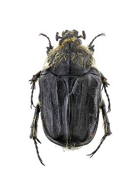 Cut Out Photograph - Flower Chafer by F. Martinez Clavel