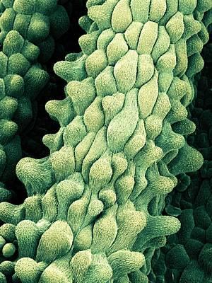 Flower Pistils, Sem Art Print by Science Photo Library
