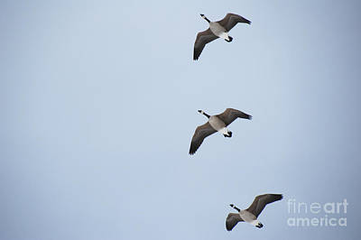 Photograph - 3 Flying Geese by Jackie Farnsworth