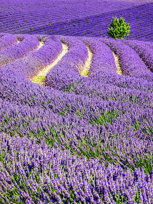 France, Provence, Lone Tree In Lavender Print by Terry Eggers