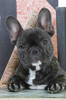 Photograph - French Bulldog Puppy by Jean-Michel Labat