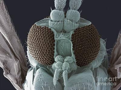 Fungus Gnat Head, Sem Art Print
