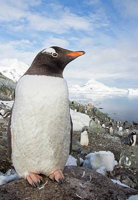 Gentoo Penguins Print by Ashley Cooper