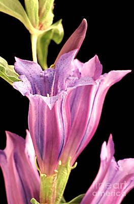 Photograph - Geranium by Carl Perkins