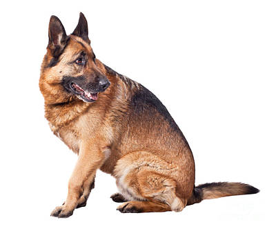 Photograph - German Shepherd by Gualtiero Boffi