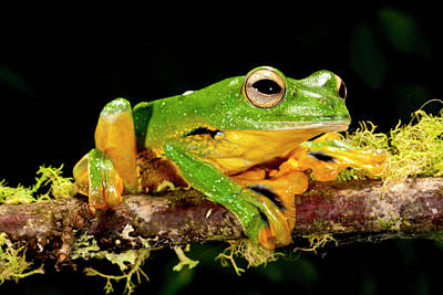 Anurans Photograph - Giant Gliding Treefrog, Polypedates Kio by David Northcott