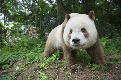 Bear Photograph - Giant Panda Brown Morph China by Katherine Feng