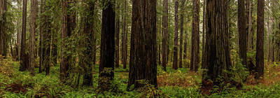 Giant Fern Photograph - Giant Redwood Trees In A Forest by Panoramic Images