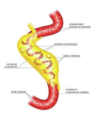 Glomerular Capsule Art Print