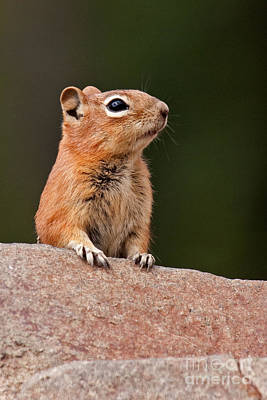 Photograph - Golden Mantled Ground Squirrel by Fred Stearns