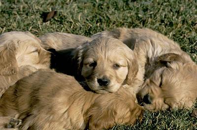 Golden Retriever Puppies Photograph - Golden Retriever Puppies by William H. Mullins
