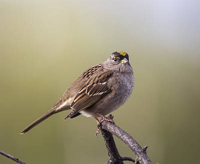 Photograph - Goldencrowned Sparrow by Doug Lloyd