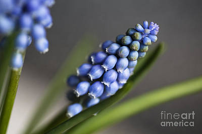 Blue Grapes Photograph - Grape Hyacinth by Nailia Schwarz