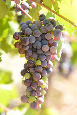 Vino Photograph - Grapes On The Vine by Brandon Bourdages