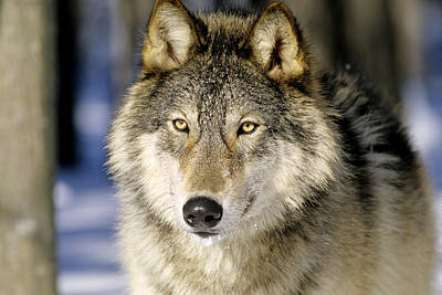 Photograph - Gray Wolf Or Timber Wolf by Thomas And Pat Leeson