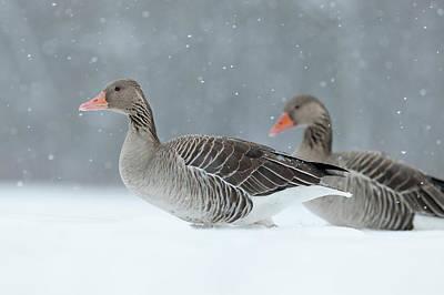 Graylag Goose (anser Anser Art Print by Martin Zwick