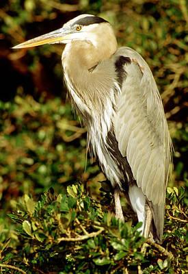 Photograph - Great Blue Heron Ardea Herodias by Millard H. Sharp