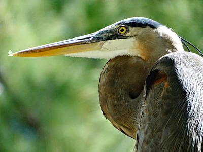 Photograph - Great Blue Heron by Frederic BONNEAU Photography