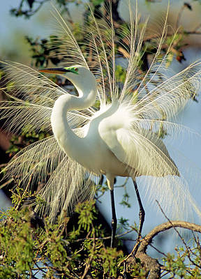 Photograph - Great Egret Courtship Display by Millard H. Sharp