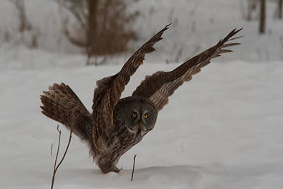 Photograph - Great Grey Owl by Josef Pittner