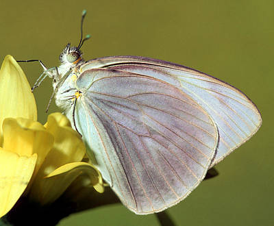 Photograph - Great Southern White Butterfly by Millard H. Sharp