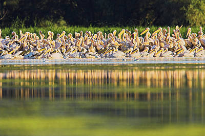 Roost Photograph - Great White Pelican (pelecanus by Martin Zwick