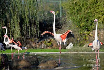 Bird Photograph - Greater Flamingos by George Atsametakis
