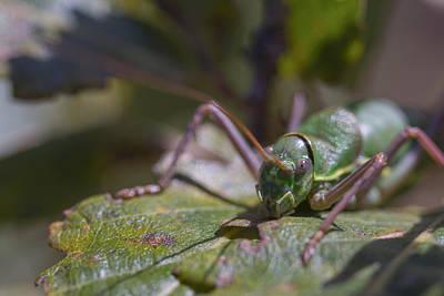 Art Print featuring the photograph Green Grasshopper Ephippiger by Jivko Nakev