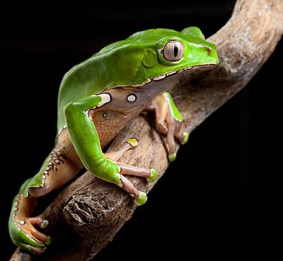Green Tree Frog Amazon Rain Forest Print by Dirk Ercken