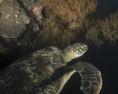 Green Sea Turtle Photograph - Green Turtle, Bunaken Marine Park by Brent Barnes