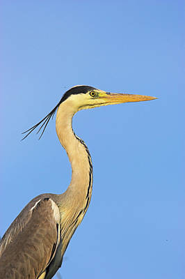 Romania Photograph - Grey Heron (ardea Cinera by Martin Zwick