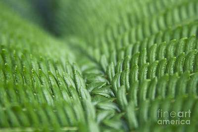 Photograph - Hapu'u Pulu Hawaiian Tree Fern  by Sharon Mau